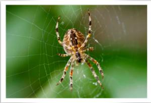 Garden spider on a web